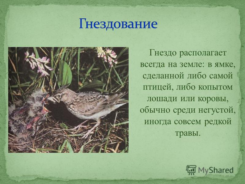 Гнездо располагает всегда на земле: в ямке, сделанной либо самой птицей, либо копытом лошади или коровы, обычно среди негустой, иногда совсем редкой травы.