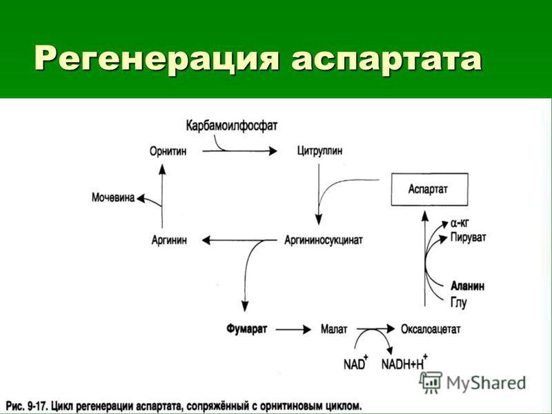Регенерация аспартата