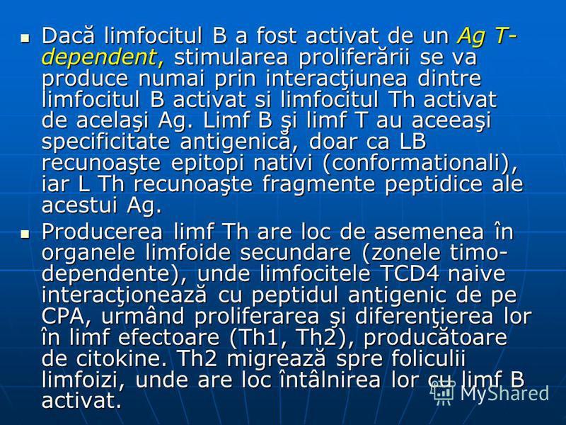 Dacă limfocitul B a fost activat de un Ag T- dependent, stimularea proliferării se va produce numai prin interacţiunea dintre limfocitul B activat si limfocitul Th activat de acelaşi Ag. Limf B şi limf T au aceeaşi specificitate antigenică, doar ca L