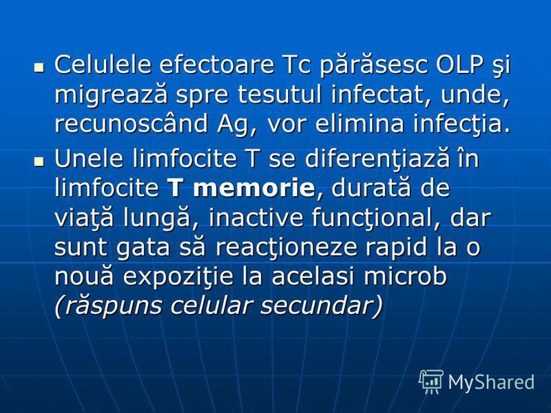 Celulele efectoare Tc părăsesc OLP şi migrează spre tesutul infectat, unde, recunoscând Ag, vor elimina infecţia. Celulele efectoare Tc părăsesc OLP şi migrează spre tesutul infectat, unde, recunoscând Ag, vor elimina infecţia. Unele limfocite T se d