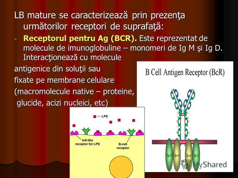 LB mature se caracterizează prin prezenţa următorilor receptori de suprafaţă: - Receptorul pentru Ag (BCR). Este reprezentat de molecule de imunoglobuline – monomeri de Ig M şi Ig D. Interacţionează cu molecule antigenice din soluţii sau fixate pe me
