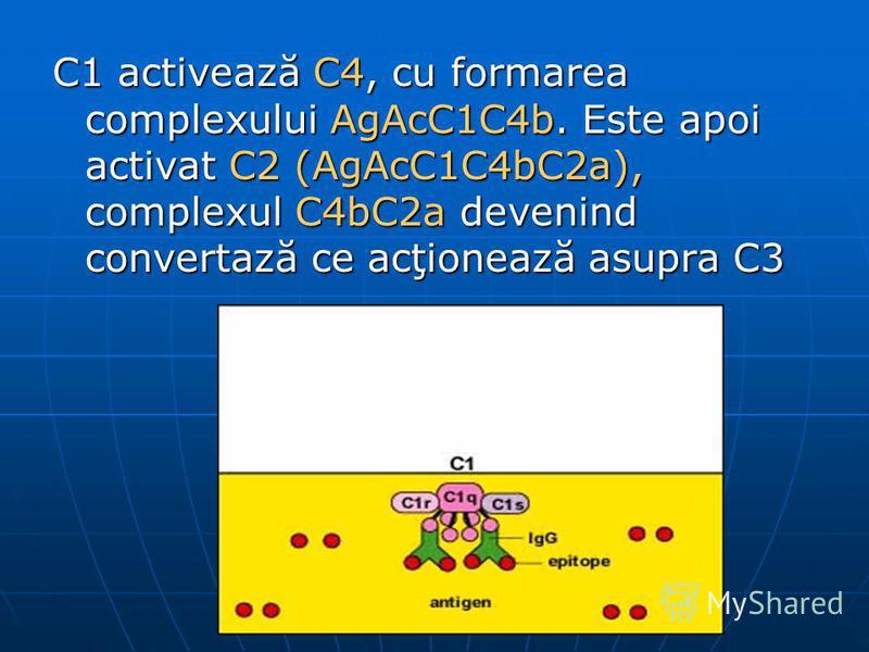 C1 activează C4, cu formarea complexului AgAcC1C4b. Este apoi activat C2 (AgAcC1C4bC2a), complexul C4bC2a devenind convertază ce acţionează asupra C3