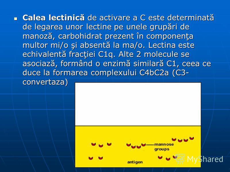 Calea lectinică de activare a C este determinată de legarea unor lectine pe unele grupări de manoză, carbohidrat prezent în componenţa multor mi/o şi absentă la ma/o. Lectina este echivalentă fracţiei C1q. Alte 2 molecule se asociază, formând o enzim