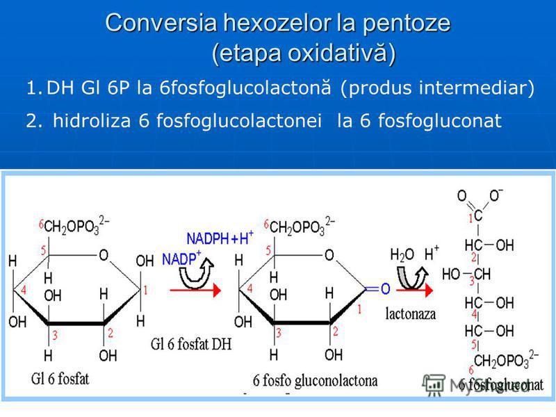 Conversia hexozelor la pentoze (etapa oxidativă) 1.DH Gl 6P la 6fosfoglucolactonă (produs intermediar) 2. hidroliza 6 fosfoglucolactonei la 6 fosfogluconat