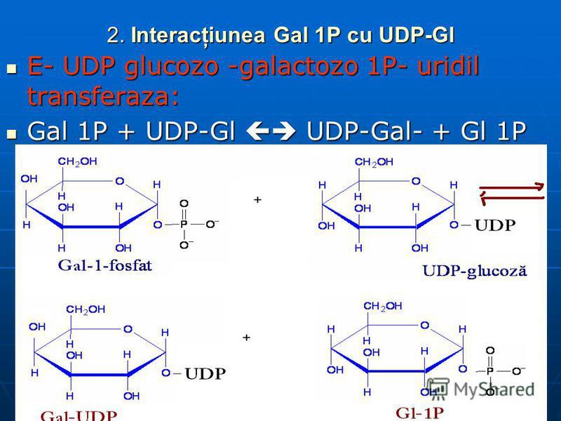 2. Interacţiunea Gal 1P cu UDP-Gl E- UDP glucozo -galactozo 1P- uridil transferaza: E- UDP glucozo -galactozo 1P- uridil transferaza: Gal 1P + UDP-Gl UDP-Gal- + Gl 1P Gal 1P + UDP-Gl UDP-Gal- + Gl 1P