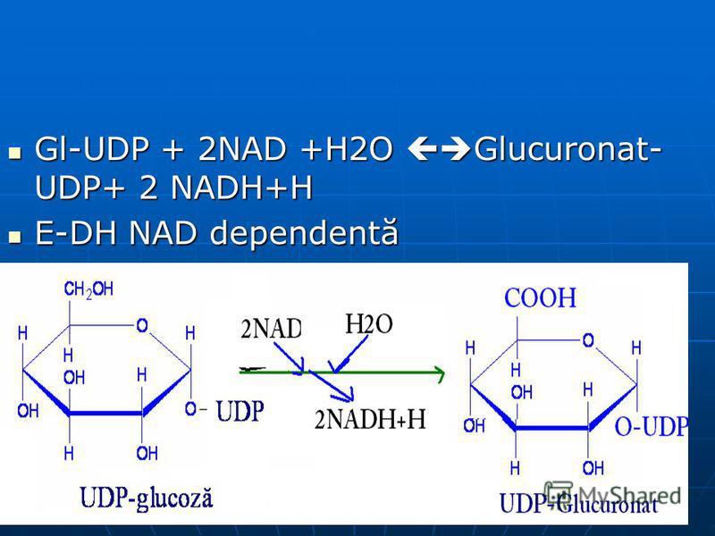 Gl-UDP + 2NAD +H2O Glucuronat- UDP+ 2 NADH+H Gl-UDP + 2NAD +H2O Glucuronat- UDP+ 2 NADH+H E-DH NAD dependentă E-DH NAD dependentă