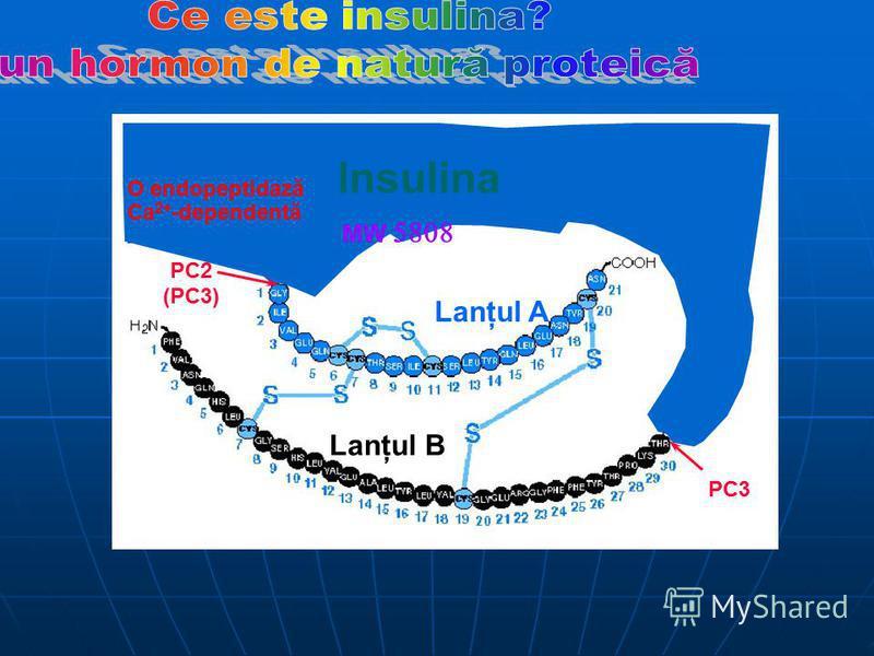C peptide Proinsulin Insulina MW O endopeptidază Ca 2+ -dependentă Lanţul A Lanţul B PC2 (PC3) PC3