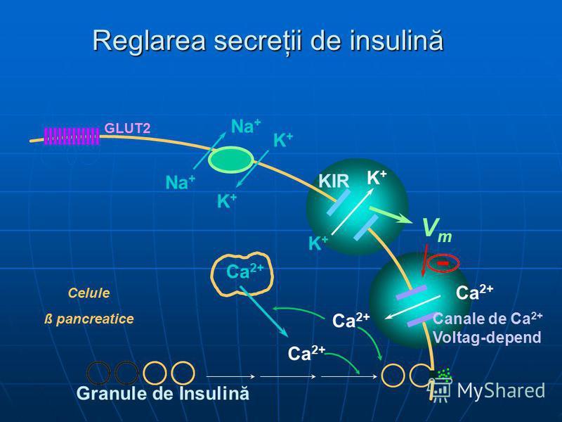 Reglarea secreţii de insulină Na + K+K+ K+K+ K+K+ K+K+ VmVm GLUT2 Ca 2+ Canale de Ca 2+ Voltag-depend KIR Celule ß pancreatice Granule de Insulină Ca 2+ -