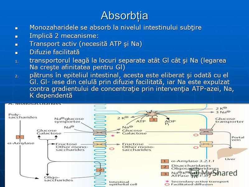 Absorbţia Monozaharidele se absorb la nivelul intestinului subţire Monozaharidele se absorb la nivelul intestinului subţire Implică 2 mecanisme: Implică 2 mecanisme: Transport activ (necesită ATP şi Na) Transport activ (necesită ATP şi Na) Difuzie fa