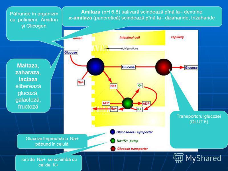 Maltaza, zaharaza, lactaza eliberează glucoză, galactoză, fructoză P ătrunde în organizm cu polimerii: Amidon şi Glicogen Amilaza (pH 6,8) salivară scindează pînă la– dextrine -amilaza (pancretică) scindează pînă la– dizaharide, trizaharide Glucoza î