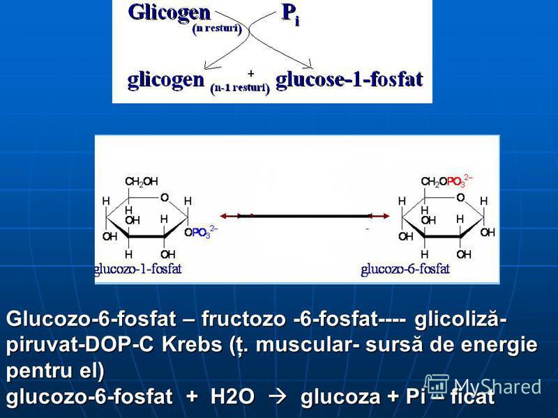 Glucozo-6-fosfat – fructozo -6-fosfat---- glicoliză- piruvat-DOP-C Krebs (ţ. muscular- sursă de energie pentru el) glucozo-6-fosfat + H2O glucoza + Pi – ficat