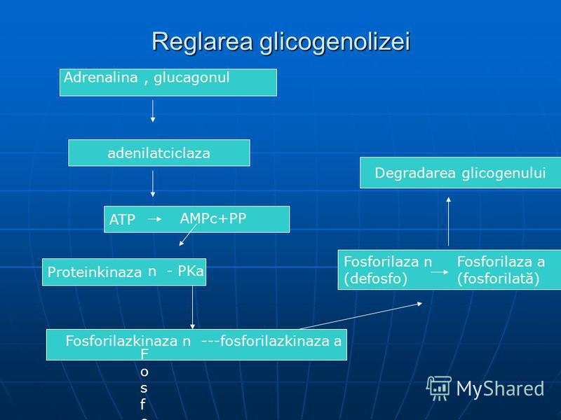Reglarea glicogenolizei Adrenalina, glucagonul adenilatciclaza ATP AMPc+PP Proteinkinaza FosforilazkinazaFosforilazkinaza n - PKa Fosforilazkinaza n ---fosforilazkinaza a Fosforilaza n (defosfo) Fosforilaza a (fosforilată) Degradarea glicogenului