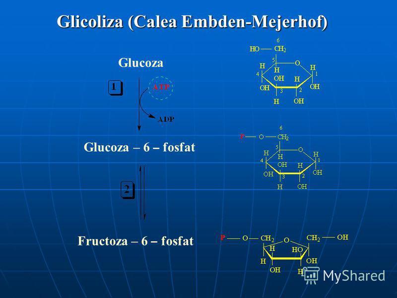 Glucoza Glucoza – 6 – fosfat Fructoza – 6 – fosfat Glicoliza (Calea Embden-Mejerhof)