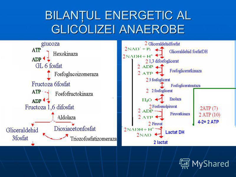 BILANŢUL ENERGETIC AL GLICOLIZEI ANAEROBE