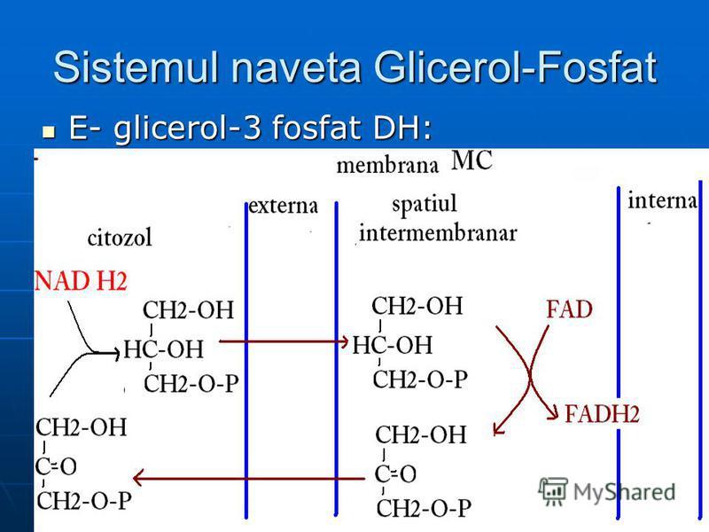 Sistemul naveta Glicerol-Fosfat E- glicerol-3 fosfat DH: E- glicerol-3 fosfat DH: a.G-3P-DH-citoplasmatică (Co- NAD) a.G-3P-DH-citoplasmatică (Co- NAD) b. G-3P-DH-mitocondrială (Co- FAD) b. G-3P-DH-mitocondrială (Co- FAD)