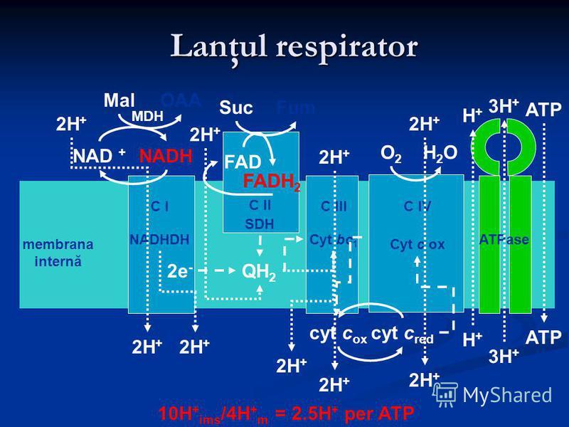 Lanţul respirator ATPase Cyt c ox C IV C I NADHDH C II SDH C III Cyt bc 1 matrix membrana internă spaţiul intermembranar NADH OAA NAD + Mal MDH Fum FADH 2 Suc FAD cyt c ox cyt c red H2OH2OO2O2 2H + H+H+ H+H+ 3H + ATP 10H + ims /4H + m = 2.5H + per AT