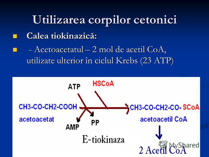 Utilizarea corpilor cetonici Calea tiokinazică: Calea tiokinazică: - Acetoacetatul – 2 mol de acetil CoA, utilizate ulterior în ciclul Krebs (23 ATP) - Acetoacetatul – 2 mol de acetil CoA, utilizate ulterior în ciclul Krebs (23 ATP)