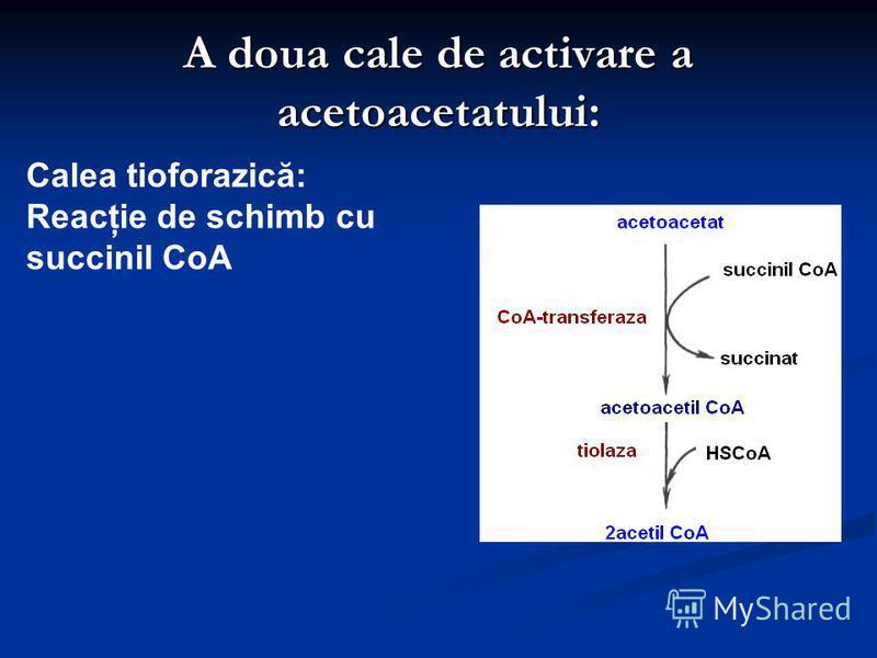 A doua cale de activare a acetoacetatului: Calea tioforazică: Reacţie de schimb cu succinil CoA