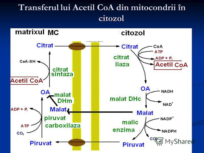 Transferul lui Acetil CoA din mitocondrii în citozol