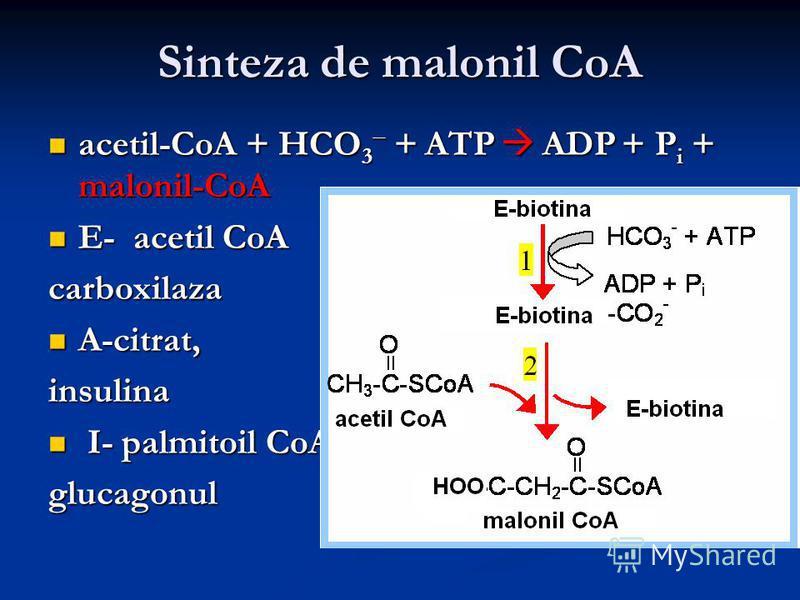 Sinteza de malonil CoA acetil-CoA + HCO 3 + ATP ADP + P i + malonil-CoA acetil-CoA + HCO 3 + ATP ADP + P i + malonil-CoA E- acetil CoA E- acetil CoA carboxilaza A-citrat, A-citrat, insulina I- palmitoil CoA I- palmitoil CoA glucagonul
