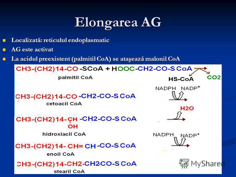 Elongarea AG Localizată: reticulul endoplasmatic Localizată: reticulul endoplasmatic AG este activat AG este activat La acidul preexistent (palmitil CoA) se ataşează malonil CoA La acidul preexistent (palmitil CoA) se ataşează malonil CoA