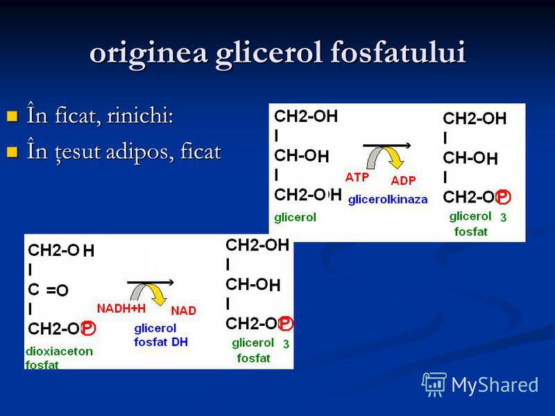 originea glicerol fosfatului În ficat, rinichi: În ficat, rinichi: În ţesut adipos, ficat În ţesut adipos, ficat