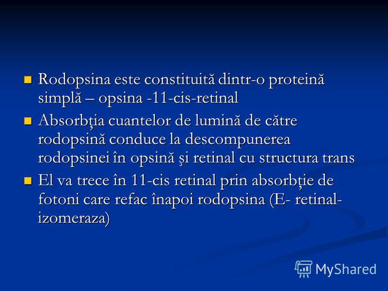 Rodopsina este constituită dintr-o proteină simplă – opsina -11-cis-retinal Rodopsina este constituită dintr-o proteină simplă – opsina -11-cis-retinal Absorbţia cuantelor de lumină de către rodopsină conduce la descompunerea rodopsinei în opsină şi