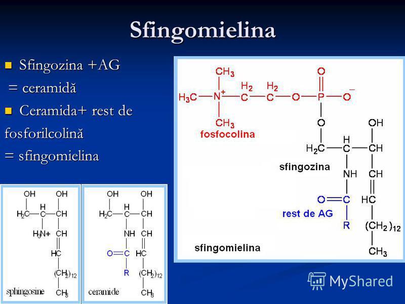 Sfingomielina Sfingozina +AG Sfingozina +AG = ceramidă = ceramidă Ceramida+ rest de Ceramida+ rest defosforilcolină = sfingomielina