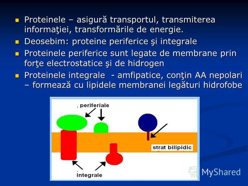 Proteinele – asigură transportul, transmiterea informaţiei, transformările de energie. Proteinele – asigură transportul, transmiterea informaţiei, transformările de energie. Deosebim: proteine periferice şi integrale Deosebim: proteine periferice şi