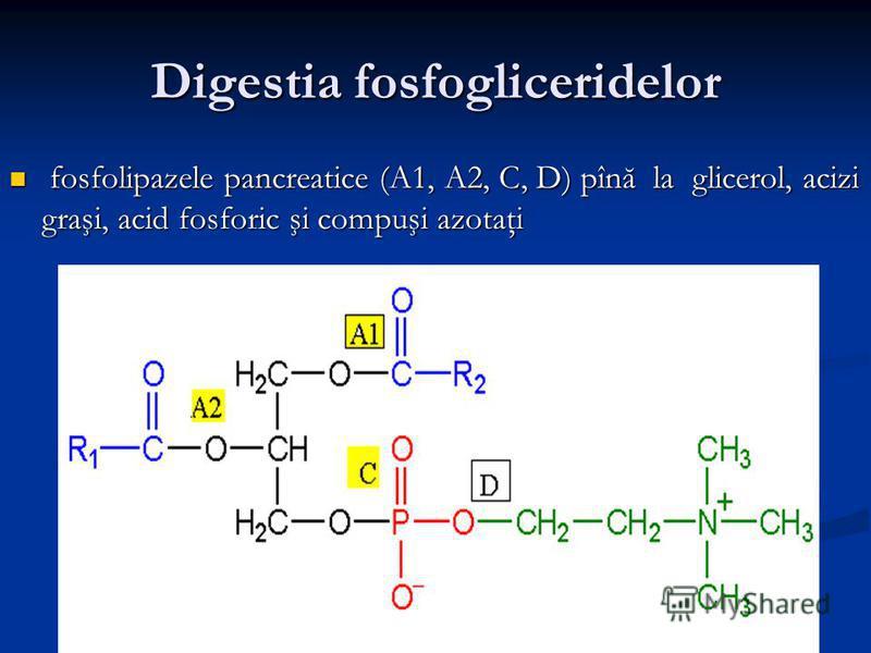 Digestia fosfogliceridelor fosfolipazele pancreatice (A1, A2, C, D) pînă la glicerol, acizi graşi, acid fosforic şi compuşi azotaţi fosfolipazele pancreatice (A1, A2, C, D) pînă la glicerol, acizi graşi, acid fosforic şi compuşi azotaţi