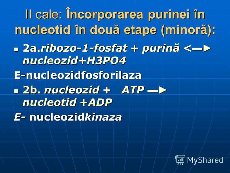 II cale: Încorporarea purinei în nucleotid în două etape (minoră): 2a.ribozo-1-fosfat + purină < nucleozid+H3PO4 2a.ribozo-1-fosfat + purină < nucleozid+H3PO4E-nucleozidfosforilaza 2b. nucleozid + ATP nucleotid +ADP 2b. nucleozid + ATP nucleotid +ADP