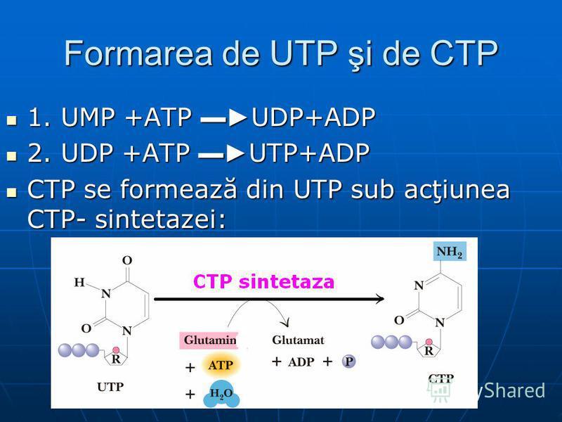 Formarea de UTP şi de CTP 1. UMP +ATP UDP+ADP 1. UMP +ATP UDP+ADP 2. UDP +ATP UTP+ADP 2. UDP +ATP UTP+ADP CTP se formează din UTP sub acţiunea CTP- sintetazei: CTP se formează din UTP sub acţiunea CTP- sintetazei: