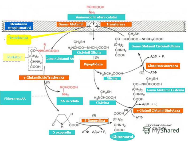 Glutamatul Aminoacid în afara celulei Gama Glutamil Cisteinil Glicina Eliberarea AA Cisteinil Glicina Glicina Gama Glutamil Cisteina AA în celulă 5 oxoprolin Gama Glutamil AA Purtător -GlutamilcicloTrasferaza 5-Oxoprolina -Glutmil Cisteinil Sintetaza