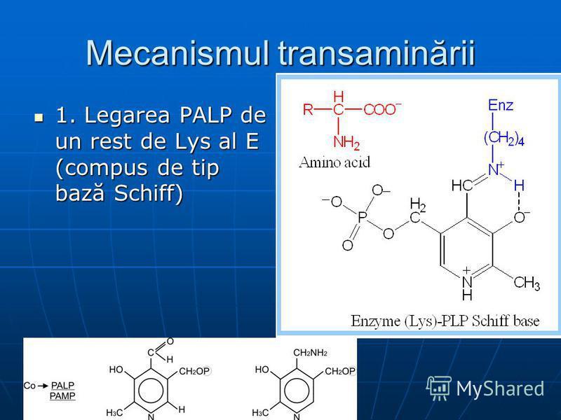 Mecanismul transaminării 1. Legarea PALP de un rest de Lys al E (compus de tip bază Schiff) 1. Legarea PALP de un rest de Lys al E (compus de tip bază Schiff)