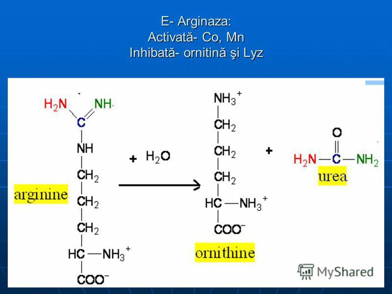 E- Arginaza: Activată- Co, Mn Inhibată- ornitină şi Lyz