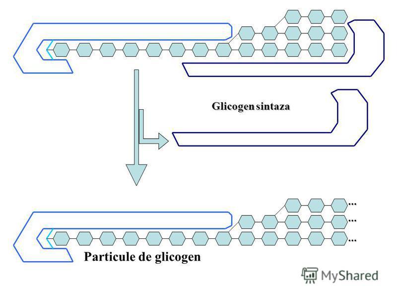 ......... Particule de glicogen Glicogen sintaza