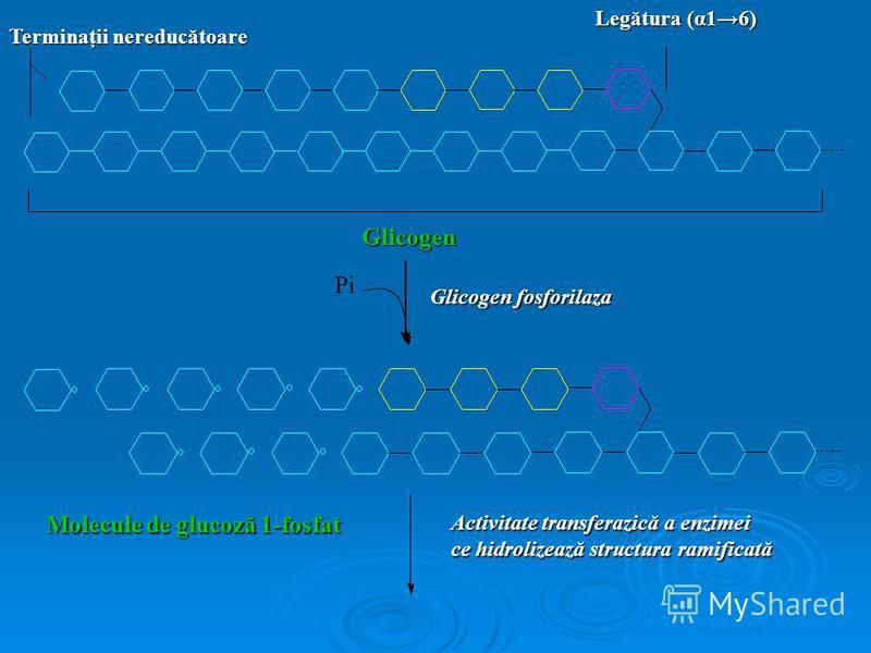 Terminaţii nereducătoare Legătura (α16) Glicogen Glicogen fosforilaza Molecule de glucoză 1-fosfat Activitate transferazică a enzimei ce hidrolizează structura ramificată Pi