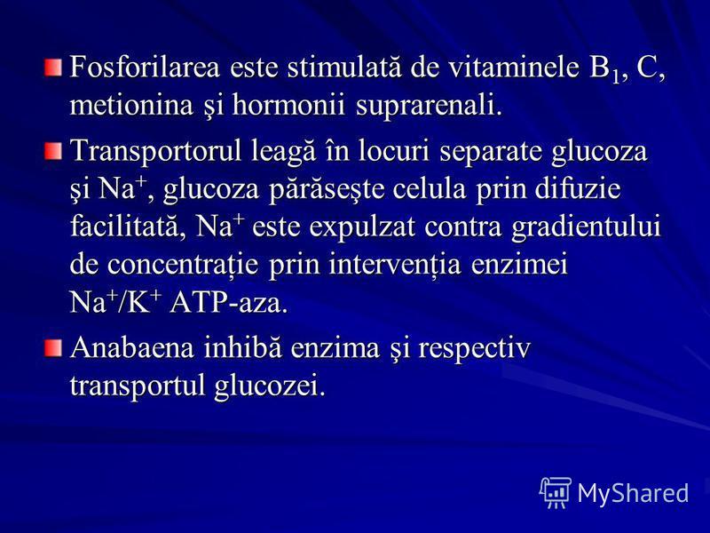 Fosforilarea este stimulată de vitaminele B 1, C, metionina şi hormonii suprarenali. Transportorul leagă în locuri separate glucoza şi Na +, glucoza părăseşte celula prin difuzie facilitată, Na + este expulzat contra gradientului de concentraţie prin