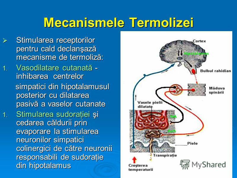 Mecanismele Termolizei Stimularea receptorilor pentru cald declanşază mecanisme de termoliză: Stimularea receptorilor pentru cald declanşază mecanisme de termoliză: 1. Vasodilatare cutanată - inhibarea centrelor simpatici din hipotalamusul posterior