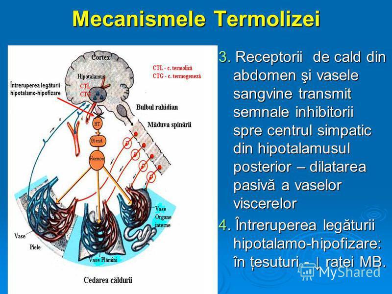 Mecanismele Termolizei 3. Receptorii de cald din abdomen şi vasele sangvine transmit semnale inhibitorii spre centrul simpatic din hipotalamusul posterior – dilatarea pasivă a vaselor viscerelor 4. Întreruperea legăturii hipotalamo-hipofizare: în ţes