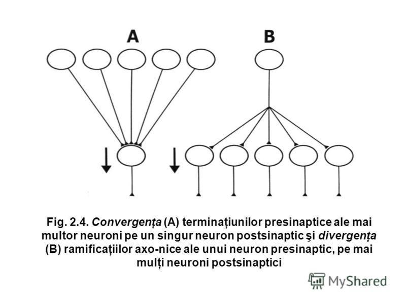 Fig. 2.4. Convergenţa (A) terminaţiunilor presinaptice ale mai multor neuroni pe un singur neuron postsinaptic şi divergenţa (B) ramificaţiilor axo-nice ale unui neuron presinaptic, pe mai mulţi neuroni postsinaptici