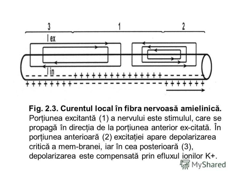 Fig. 2.3. Curentul local în fibra nervoasă amielinică. Porţiunea excitantă (1) a nervului este stimulul, care se propagă în direcţia de la porţiunea anterior ex-citată. În porţiunea anterioară (2) excitaţiei apare depolarizarea critică a mem-branei,