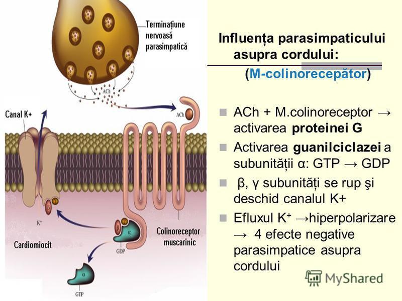 Influenţa parasimpaticului asupra cordului: (M-colinorecepător) ACh + M.colinoreceptor activarea proteinei G Activarea guanilciclazei a subunităţii α: GTP GDP β, γ subunităţi se rup şi deschid canalul K+ Efluxul K + hiperpolarizare 4 efecte negative