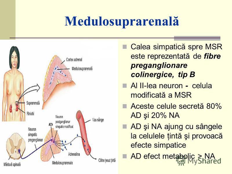 Medulosuprarenală Calea simpatică spre MSR este reprezentată de fibre preganglionare colinergice, tip B Al II-lea neuron - celula modificată a MSR Aceste celule secretă 80% AD şi 20% NA AD şi NA ajung cu sângele la celulele ţintă şi provoacă efecte s