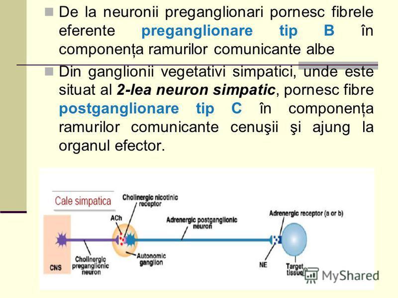 De la neuronii preganglionari pornesc fibrele eferente preganglionare tip B în componenţa ramurilor comunicante albe Din ganglionii vegetativi simpatici, unde este situat al 2-lea neuron simpatic, pornesc fibre postganglionare tip C în componenţa ram