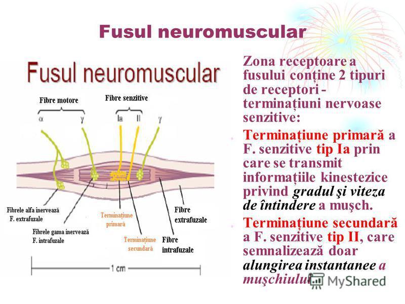 Fusul neuromuscular -Zona receptoare a fusului conţine 2 tipuri de receptori - terminaţiuni nervoase senzitive: 1.Terminaţiune primară a F. senzitive tip Ia prin care se transmit informaţiile kinestezice privind gradul şi viteza de întindere a muşch.