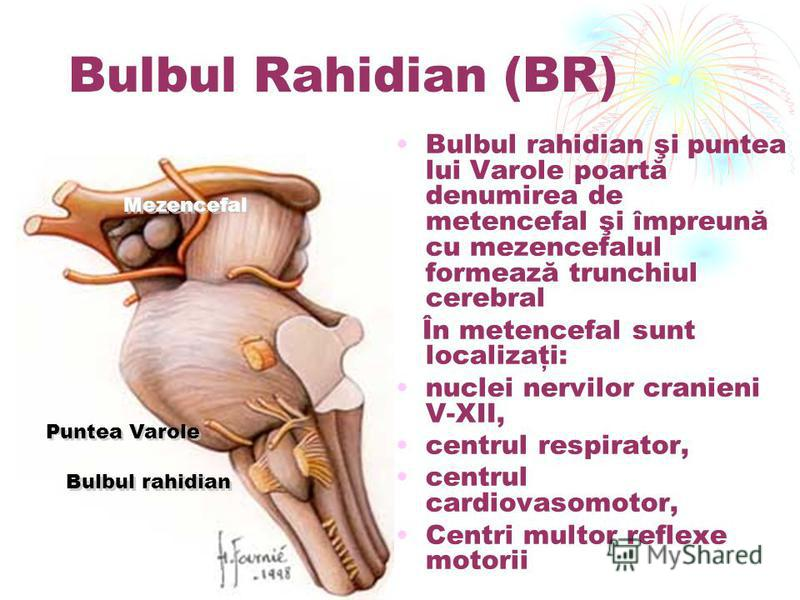 Bulbul Rahidian (BR) Bulbul rahidian şi puntea lui Varole poartă denumirea de metencefal şi împreună cu mezencefalul formează trunchiul cerebral În metencefal sunt localizaţi: nuclei nervilor cranieni V-XII, centrul respirator, centrul cardiovasomoto
