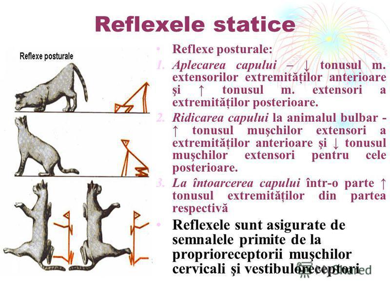 Reflexele statice Reflexe posturale: 1.Aplecarea capului – tonusul m. extensorilor extremităţilor anterioare şi tonusul m. extensori a extremităţilor posterioare. 2.Ridicarea capului la animalul bulbar - tonusul muşchilor extensori a extremităţilor a