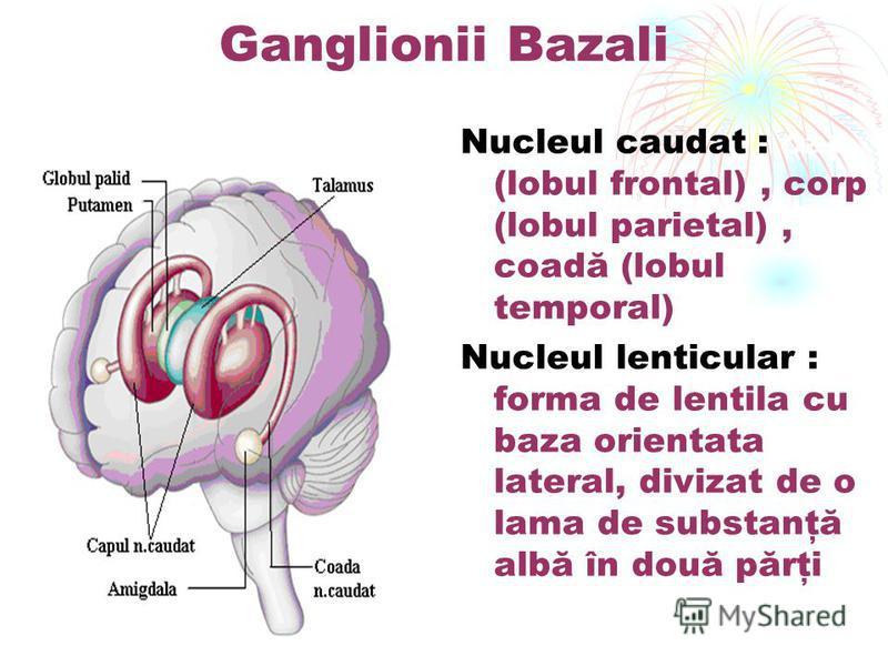 Ganglionii Bazali Nucleul caudat : cap (lobul frontal), corp (lobul parietal), coadă (lobul temporal) Nucleul lenticular : forma de lentila cu baza orientata lateral, divizat de o lama de substanţă albă în două părţi