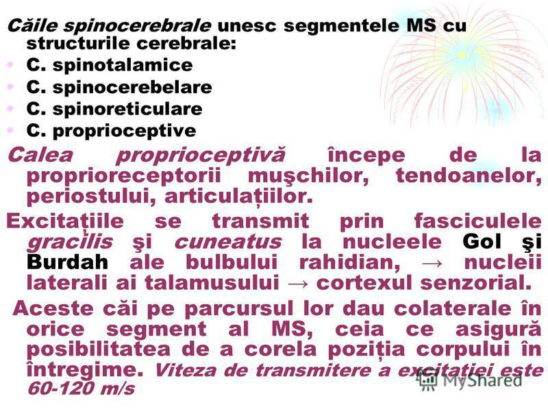 Căile spinocerebrale unesc segmentele MS cu structurile cerebrale: C. spinotalamice C. spinocerebelare C. spinoreticulare C. proprioceptive Calea proprioceptivă începe de la proprioreceptorii muşchilor, tendoanelor, periostului, articulaţiilor. Excit